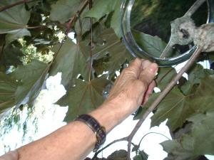 Baby Hummingbird week (1) 7-12-03
