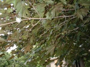 Mother Hummingbird Sitting on Nest